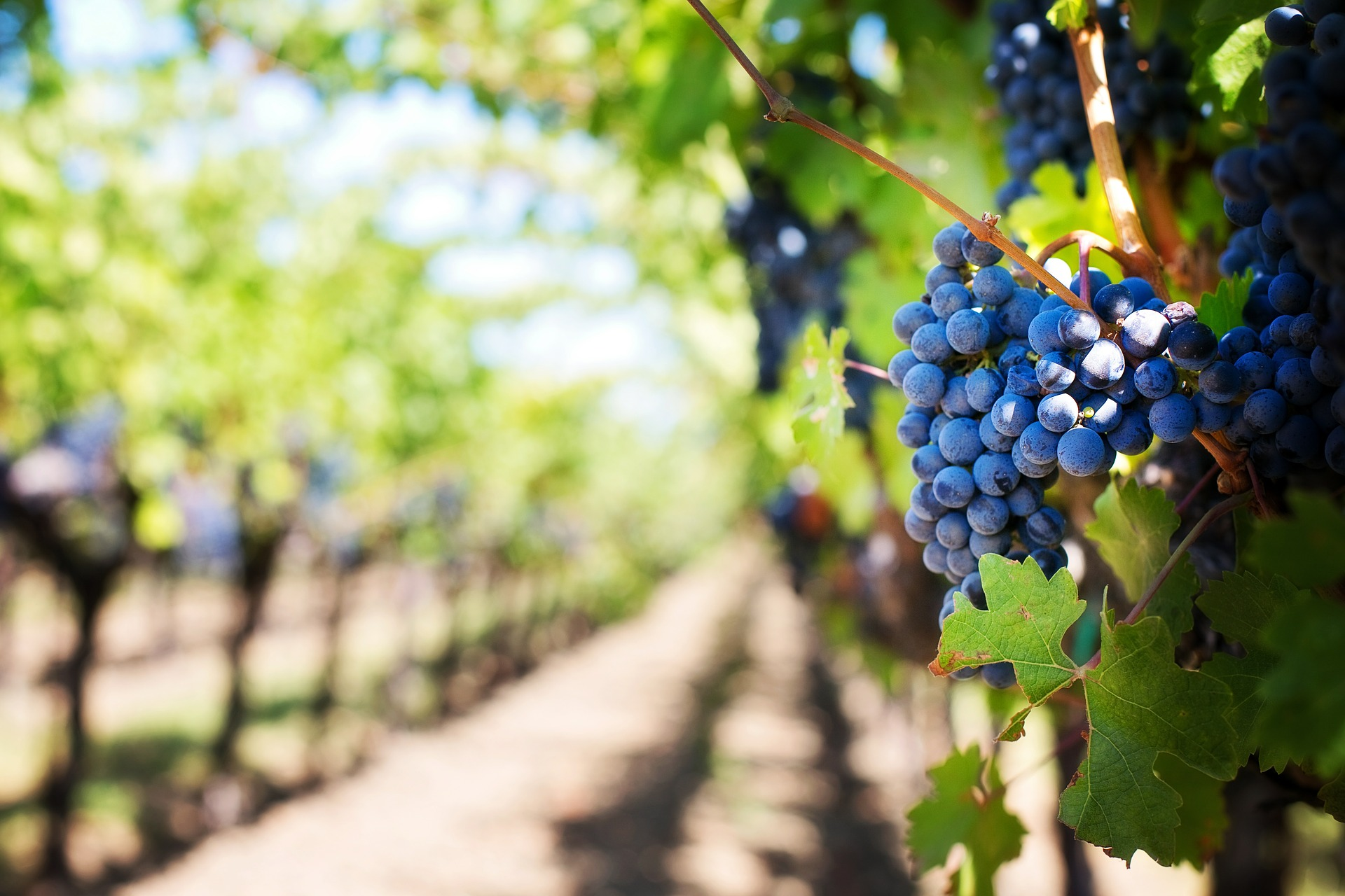 Life Lessons from a Vineyard Manager – We Are the Vine
